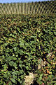 Vigne Pinot noir (Chatillon sur Marne) Cl.J.Weber05 (23569184022).jpg
