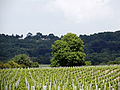 Vineyard Adjacent to Eccles - 2.jpg