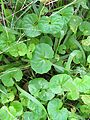 Viola banksii leaf1 - Flickr - Macleay Grass Man.jpg