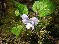 Viola selkirkii flower 1 AB