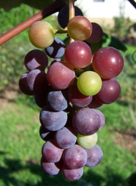 ��� ��� �� ����� ������� ������� ����������� # ����� # 440px-Vitis_vinifera