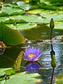 Waterlily Reflection (5155647775).jpg
