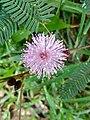 Wayanadan-random-flowers IMG 20180524 093245 HDR (27507750947).jpg
