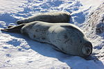 Weddell seal with pup IMG 8054.JPG