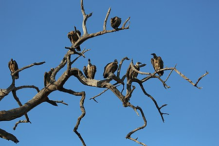 Vultures in their habitat