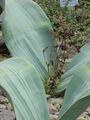 Welwitschia mirabilis0.jpg