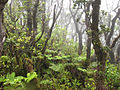 Wet forest of Kohala Mountain.jpg