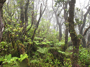 Kohala - The multi-storied canopy of a native wet forest on Kohala Mountain.