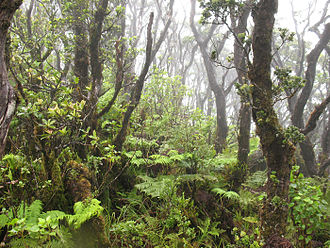 Kohala (mountain) - The multi-storied canopy of a native wet forest on Kohala Mountain.