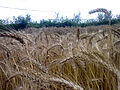 Wheat fields 05.jpg