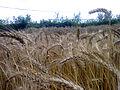 Wheat fields 05.jpg