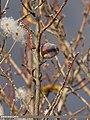 White-browed Tit Warbler (Leptopoecile sophiae) (15707518870).jpg