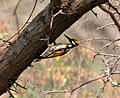 White-naped Woodpecker (Chrysocolaptes festivus) in Hyderabad W IMG 7545.jpg