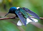White-necked Jacobin 6.jpg