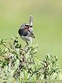 White-tailed Rubythroat (Luscinia pectoralis) (49359482566).jpg