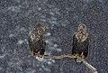 White-tailed eagle LGphoto.jpg