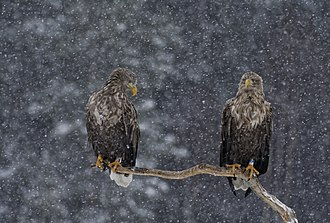White-tailed eagle - Two adult white-tailed eagles in snow in Färnebofjärden National Park, Sweden.