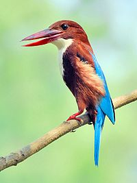 White-throated kingfisher (Halcyon smyrnensis) Photograph by Shantanu Kuveskar.jpg