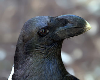 White-necked raven - Profile of head - taken at the Cincinnati Zoo