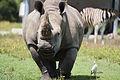 White Rhino 00008.jpg