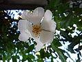 White rose stc.jpg