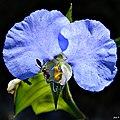Whitemouth dayflower (Commelina erecta) (6568434585).jpg