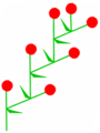 Wickel (inflorescence).PNG