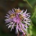 Wiesen Flockenblume mit Bienen.JPG