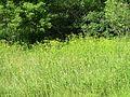 Wild Parsnip (Pastinaca sativa) - Flickr - Jay Sturner.jpg