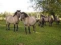 Wild horses near Rauna - ainars brūvelis - Panoramio.jpg