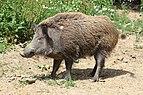 Wildschwein01.JPG