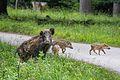 Wildschwein mit Frischlingen, Nähe Nikolaitor.jpg