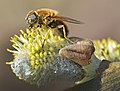 Willow pollination salix Lamiot 2.JPG