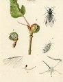 Winterthurer Bibliotheken Ms 8° 141-Chermes-001 J R Schellenberg Pflanzenläuse - Chermes.tif