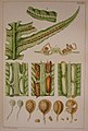 Woodwardia radicans (Bauer).jpg