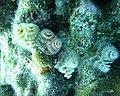 Worms Christmas Tree Worms (7342767632).jpg