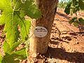 Year old vines.JPG