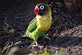 Yellow-collared Lovebird (27582137244).jpg