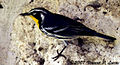 Yellow-throated Warbler.jpg
