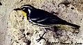 Yellow-throated Warbler.jpg