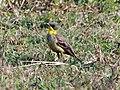 Yellow Wagtail (13033516794).jpg