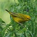 Yellow Warbler (7098680755).jpg