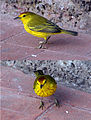 Yellow Warbler (Dendroica petechia) -Santa Cruz -Puerto Ayorto.jpg