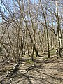 Young Birch Wood on the North Downs Way - geograph.org.uk - 364165.jpg