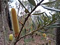 Young banksia flower.jpg