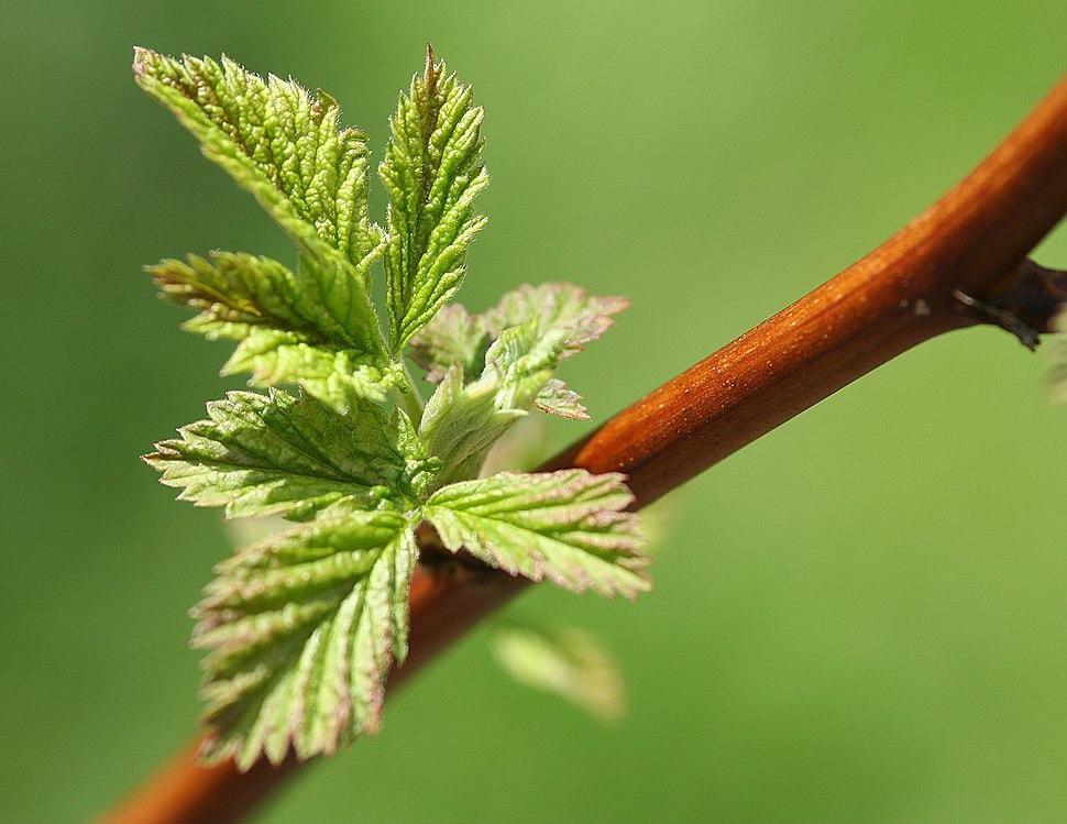 Young shoot - Rubus idaeus