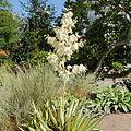 Yucca filamentosa 'Color Guard'-IMG 5552.jpg