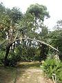 Yucca filifera Prailly.JPG
