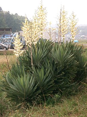 Description de l'image Yucca gloriosa1.jpg.
