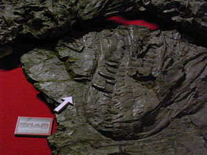Yutyrannus - Close up of snout